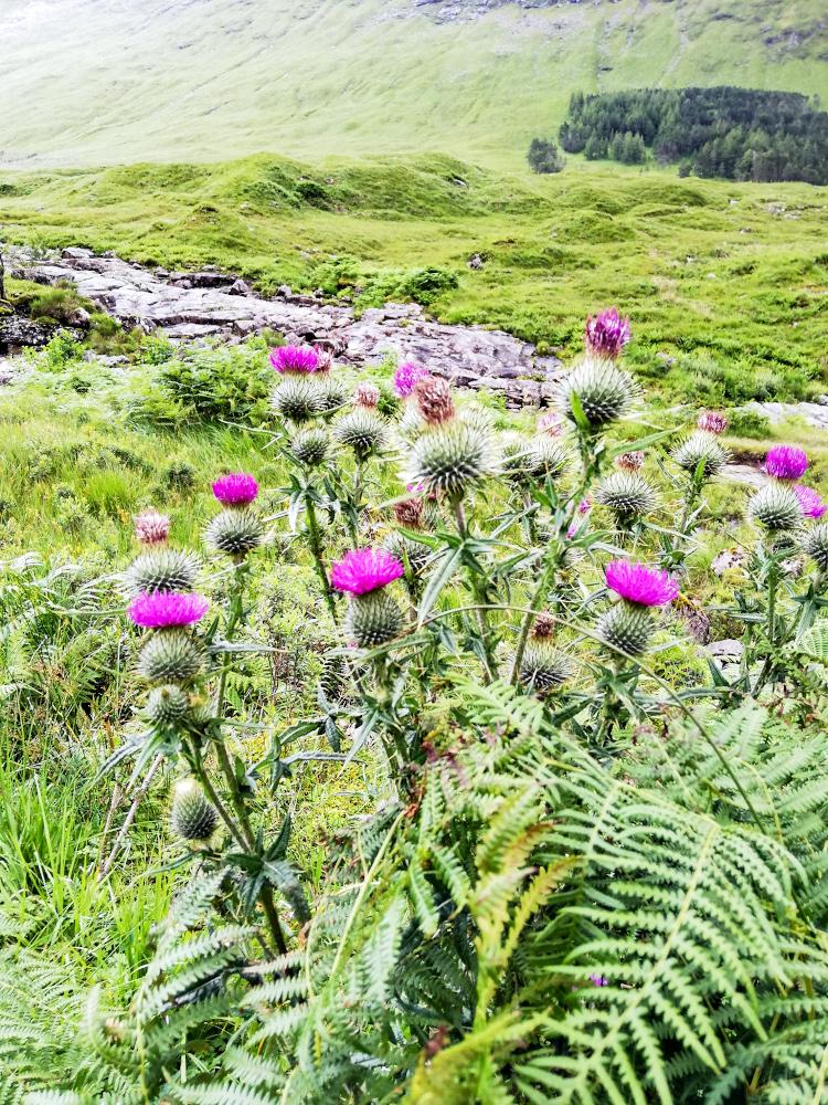Jolis chardons, la fleur nationale écossaise
