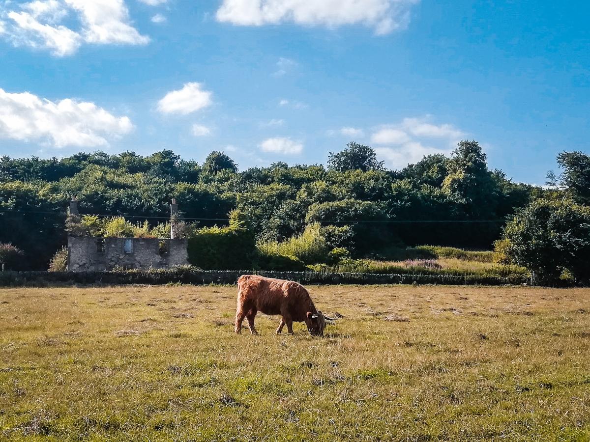 Une vache écossaise à Edimbourg